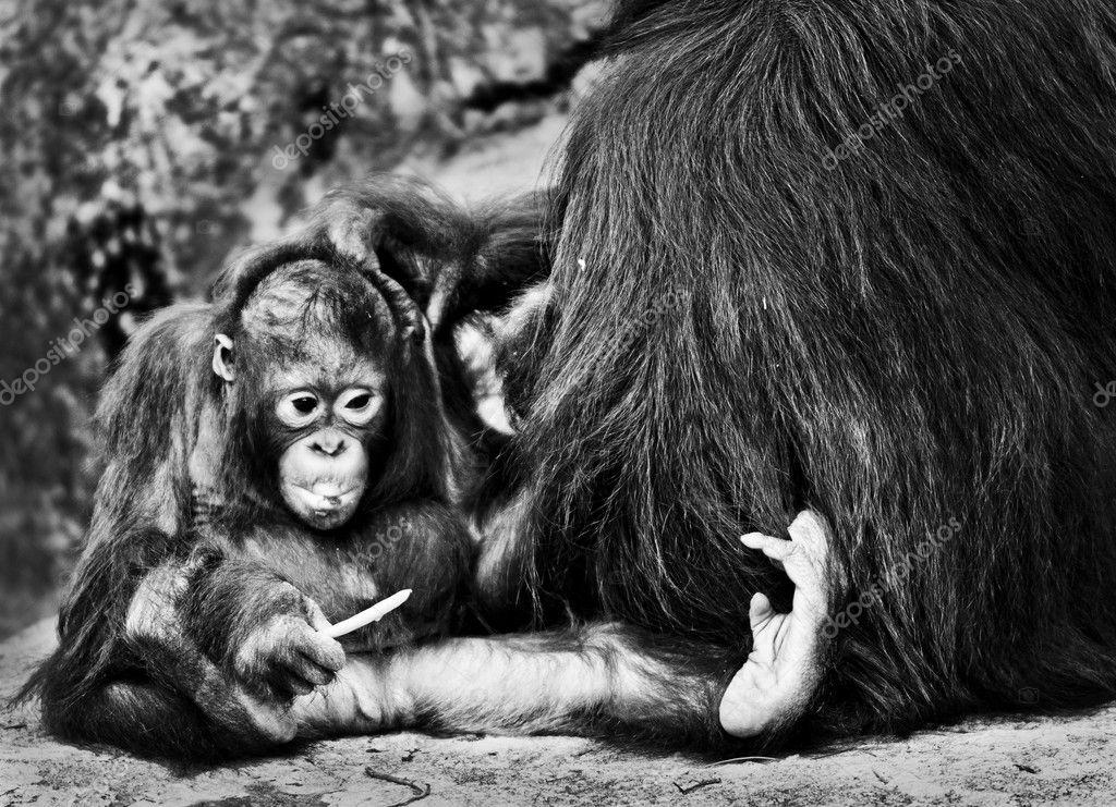 B&W Orangutans