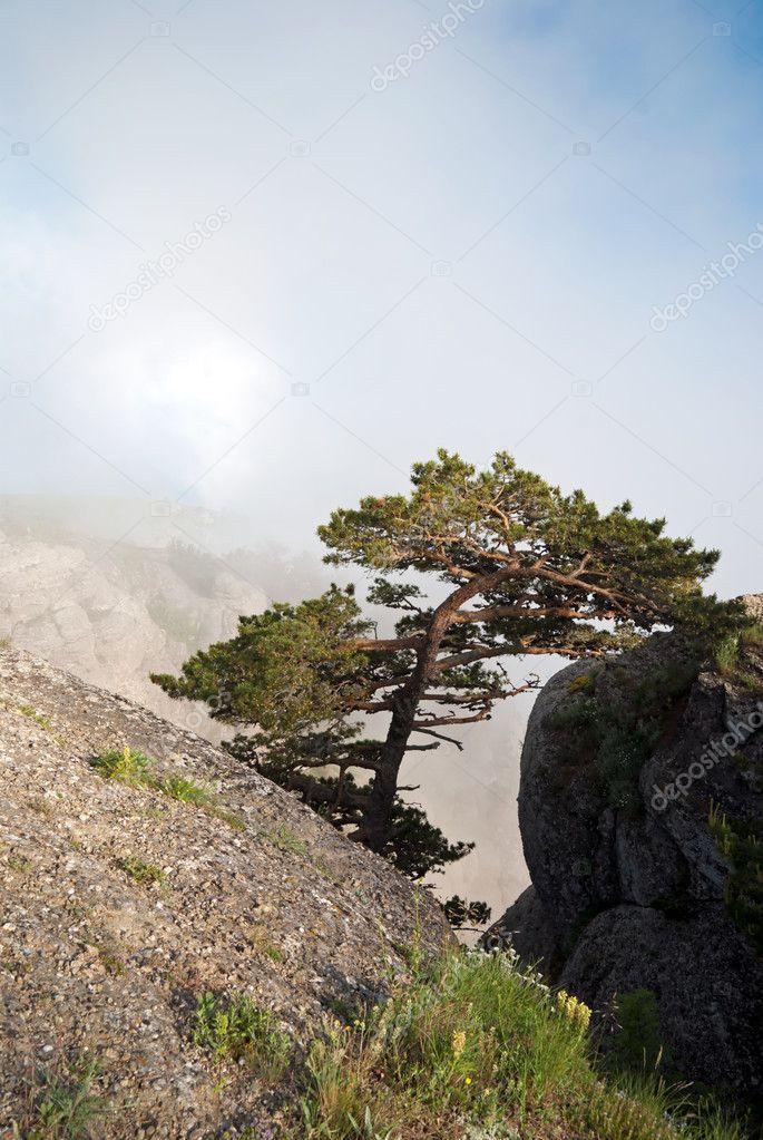 Kiefer im Felsen, die gegen die weißen Wolken. Wilde Blumen auf ...