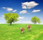 tehenek a réten