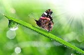 Rosa a motýl