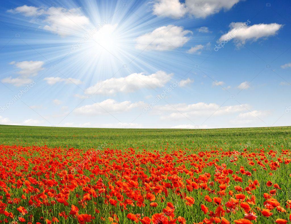 Фотообои Red poppy field