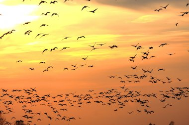 Snow Geese at Sunset