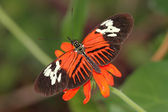 Motýl heliconius