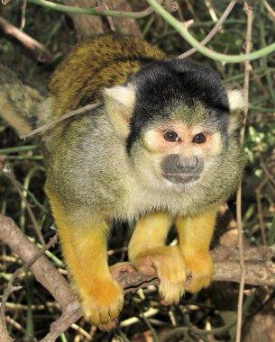 Small green monkey