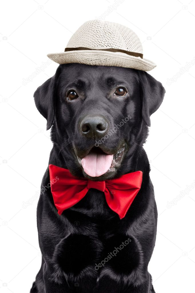 Black Labrador with a hat and tie on white background — Фото від Dimedrol68 572b403369483
