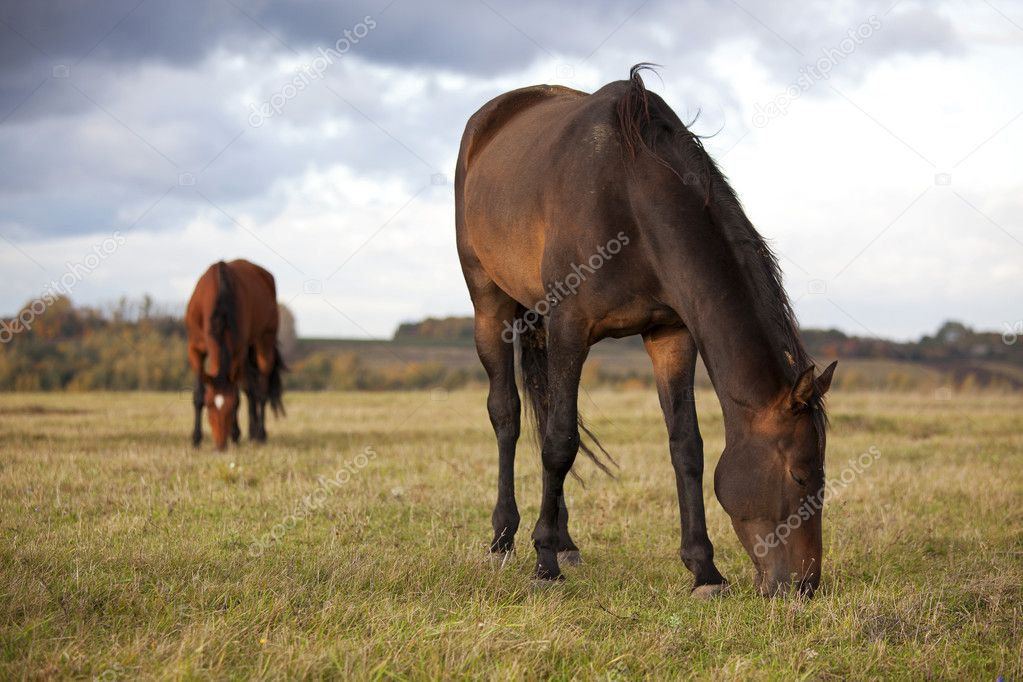 Two young bay horses grazing in the autumn field