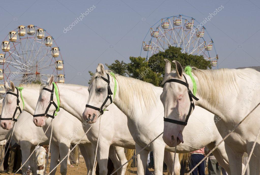 Marwari Białe Konie Zdjęcie Stockowe Richardsjeremy 9147904
