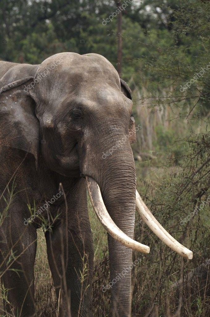 Bull Indian Elephant Stock Photo 169 Richardsjeremy 9201558