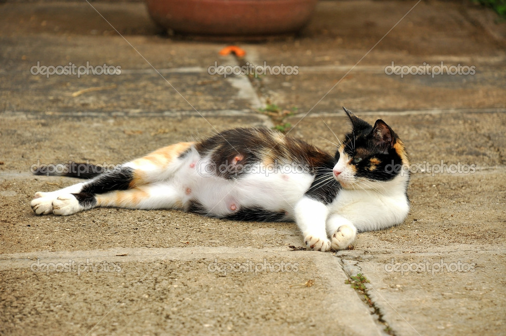 Pregnant cat sprawled on the ground.