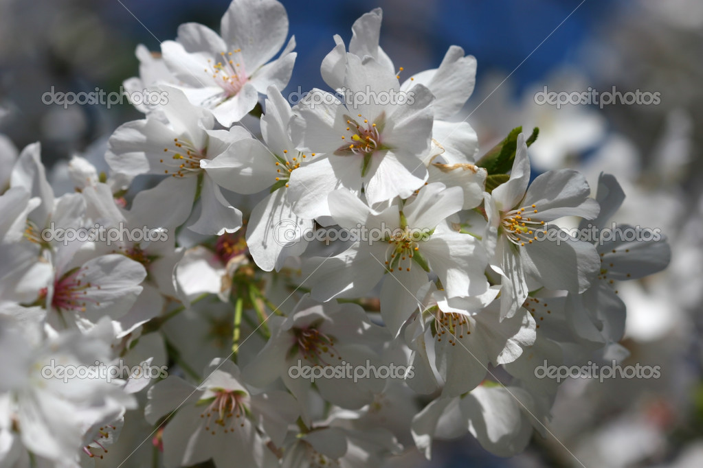 White Tree Blooms