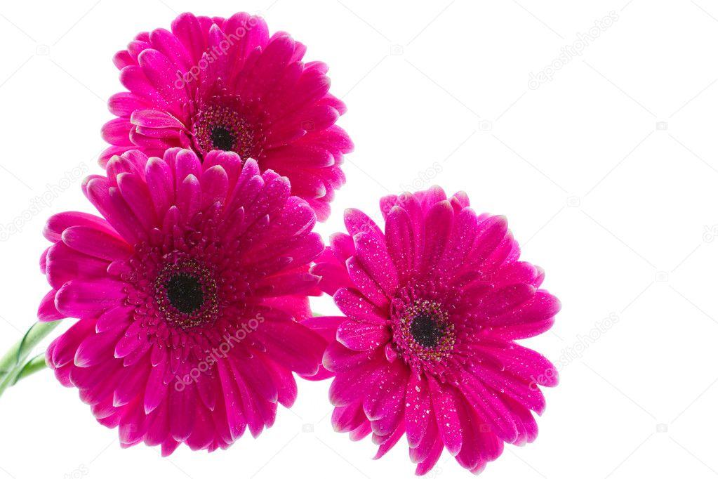 Букет ярко нежно розовых гербер, дизайнерская бумага для цветов купить интернет магазин
