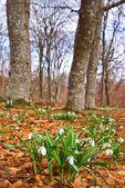 sněženky v lese na jaře