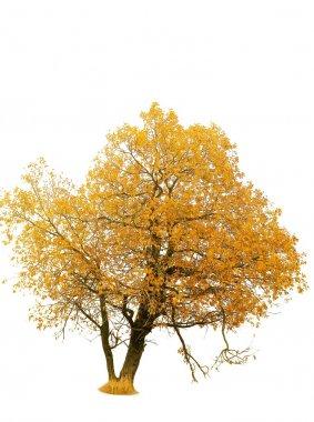 Autumn gold tree on a white background