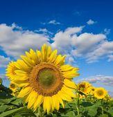 Velké slunečnice na pozadí modré oblohy