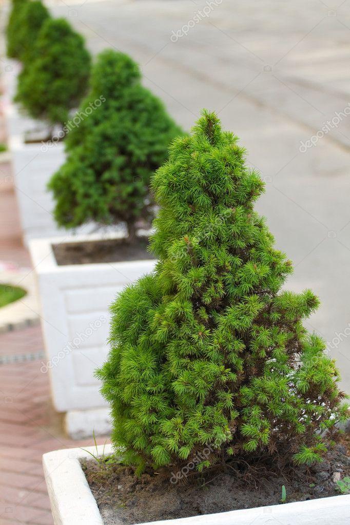 Decorative Pine Trees Stock Photo C Labrador 10473367