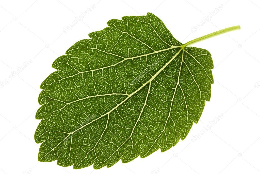 Mulberry leaf
