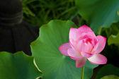 Fotografie schöne Pink lotus