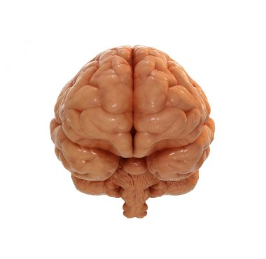 Front view of a brain