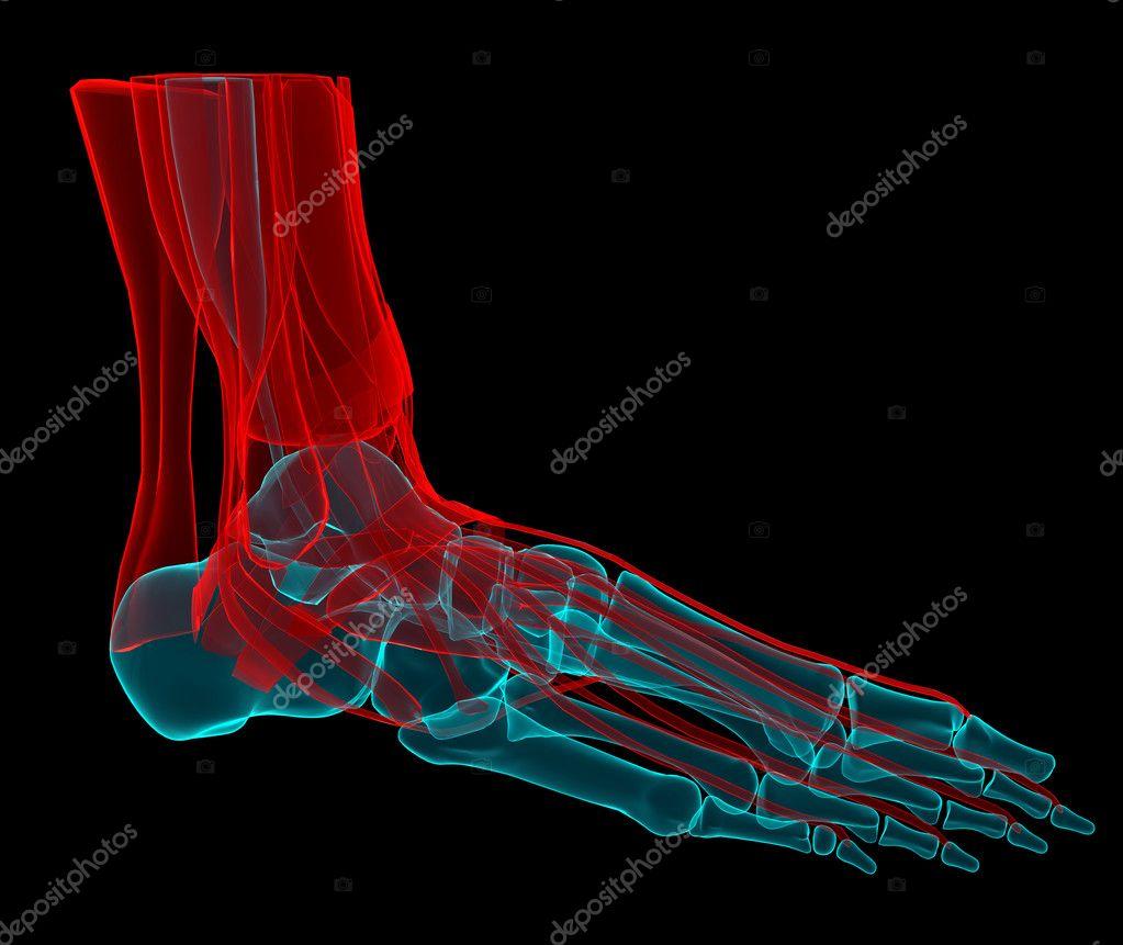 Ilustración 3D de un pie con los huesos y los tendones — Fotos de ...
