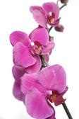 Fotografia orchidee viola