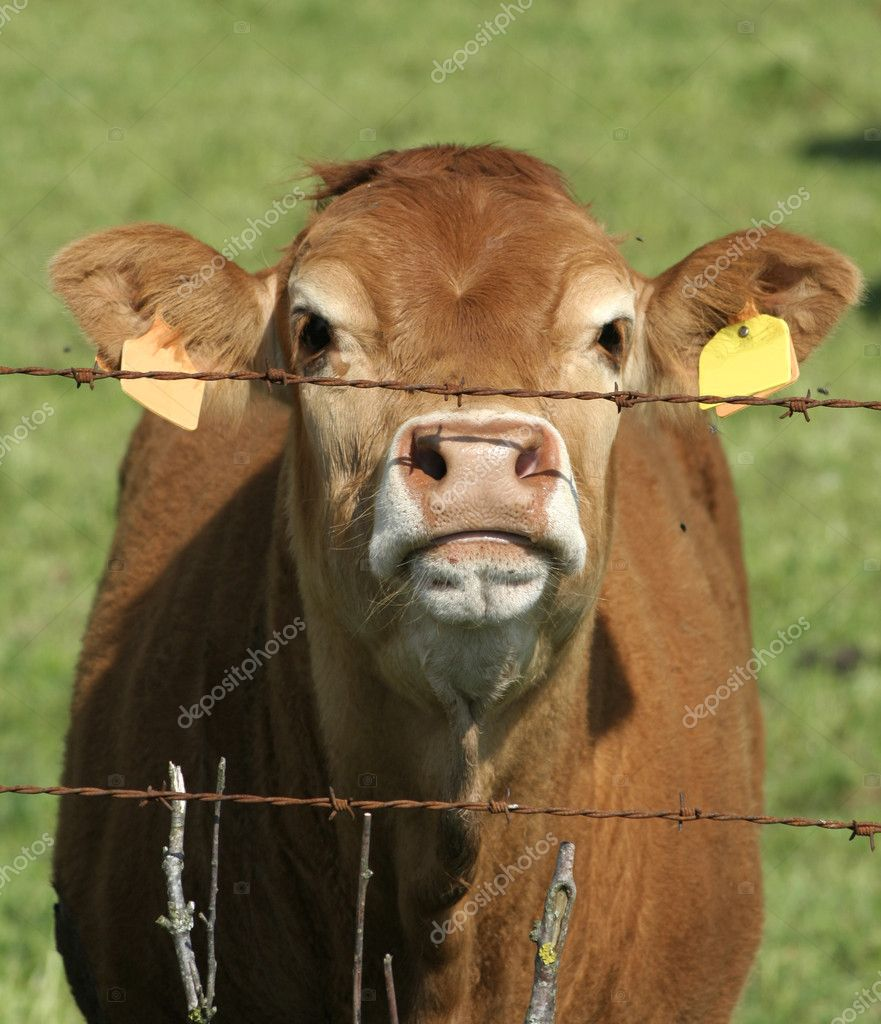 Brown cow behind rusty barbed wire fence