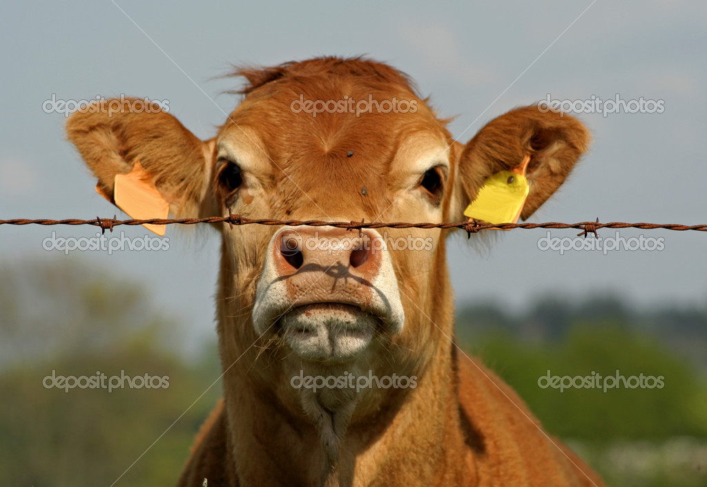 Brown cow looking curious through fence