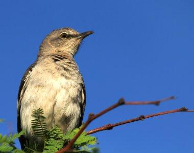 A Mockingbird Perches on a Mesquite Branch