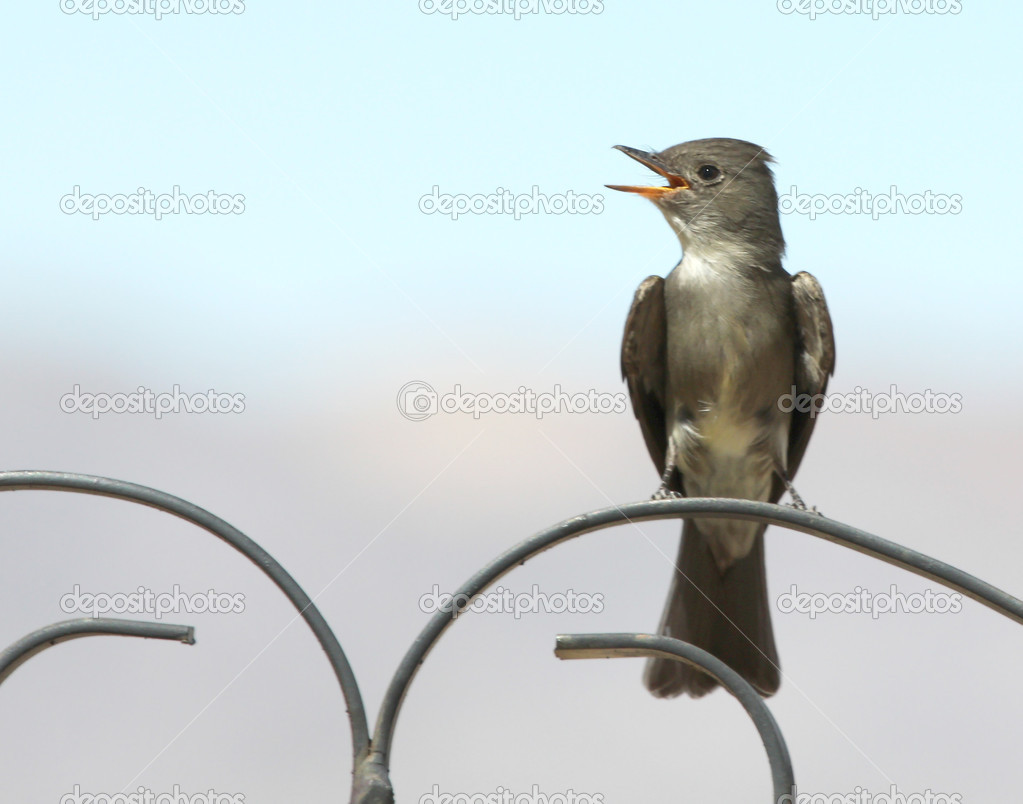 A Western Wood-Pewee on a Wrought Iron Scroll