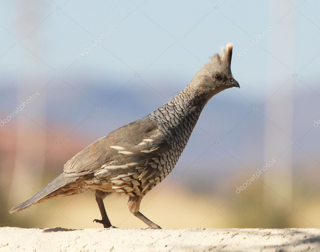 A Scaled Quail on a Stucco Wall