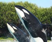 matka a tele orca porušení dohromady