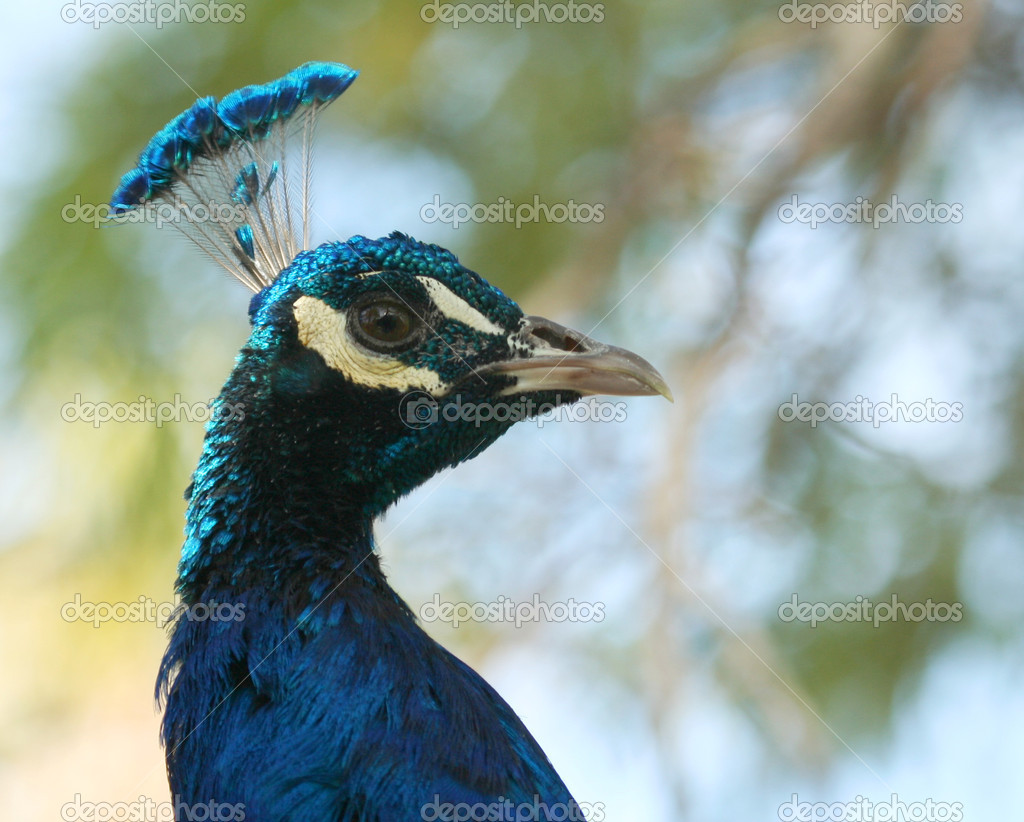 A Close Up of the Male Indian Blue Peacock
