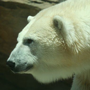 A Head of a Polar Bear in Profile
