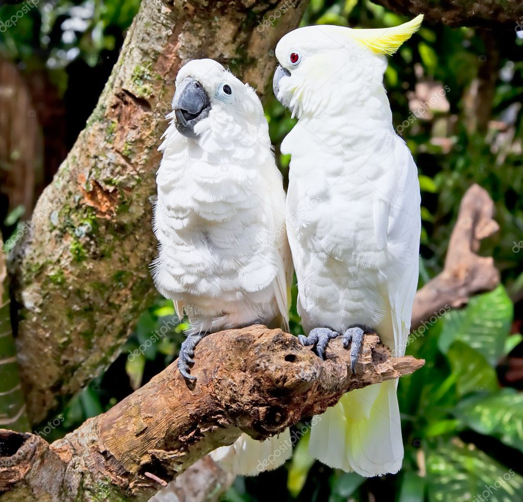 Yellow-crested white Cockatoo Parrot in nature surrounding