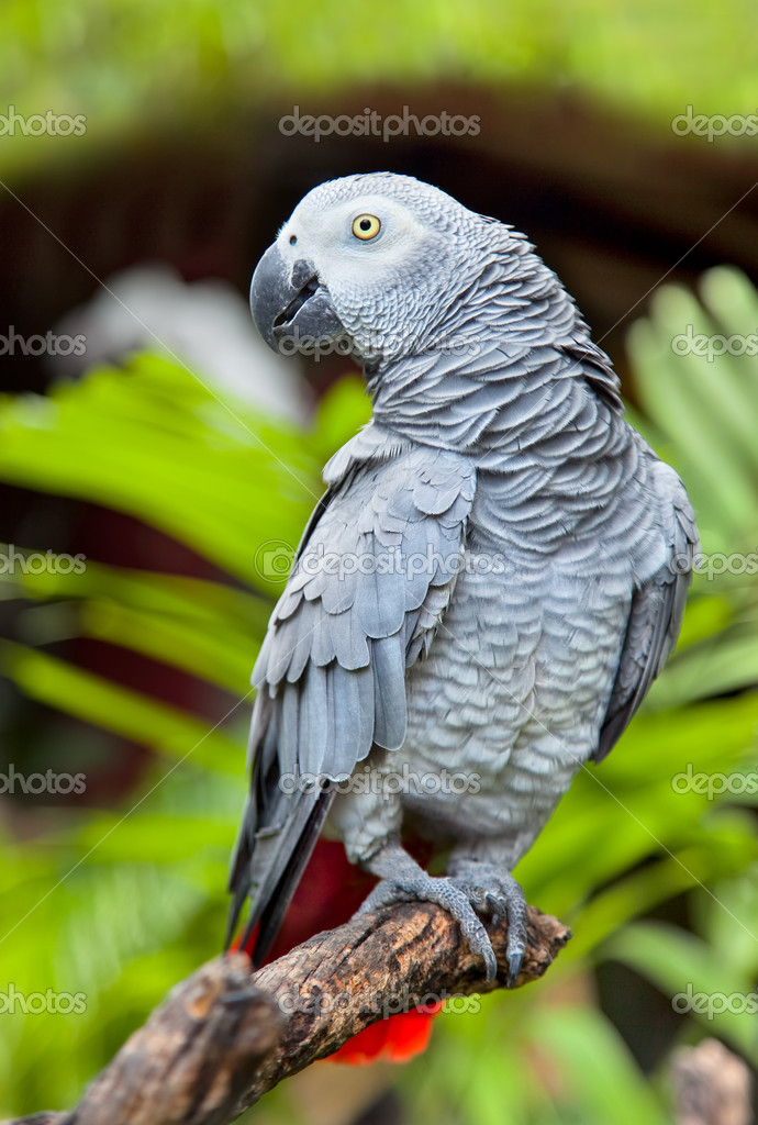 African Grey Parrot in nature surrounding