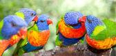 Fotografia lorichetti arcobaleno australiano
