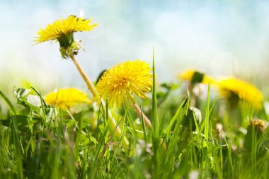 Spring flowers, dandelion