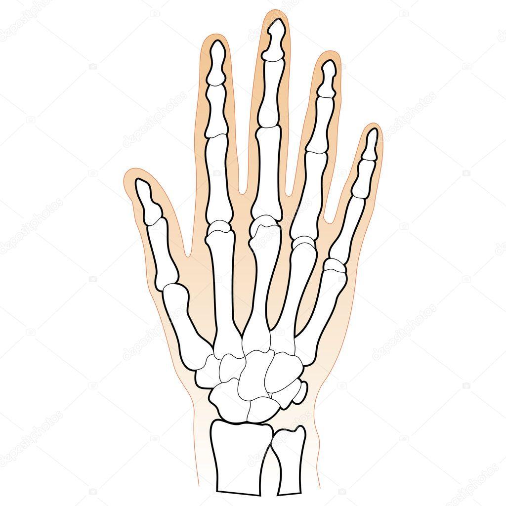 Tolle Bilder Der Menschlichen Hand Knochen Galerie - Physiologie Von ...
