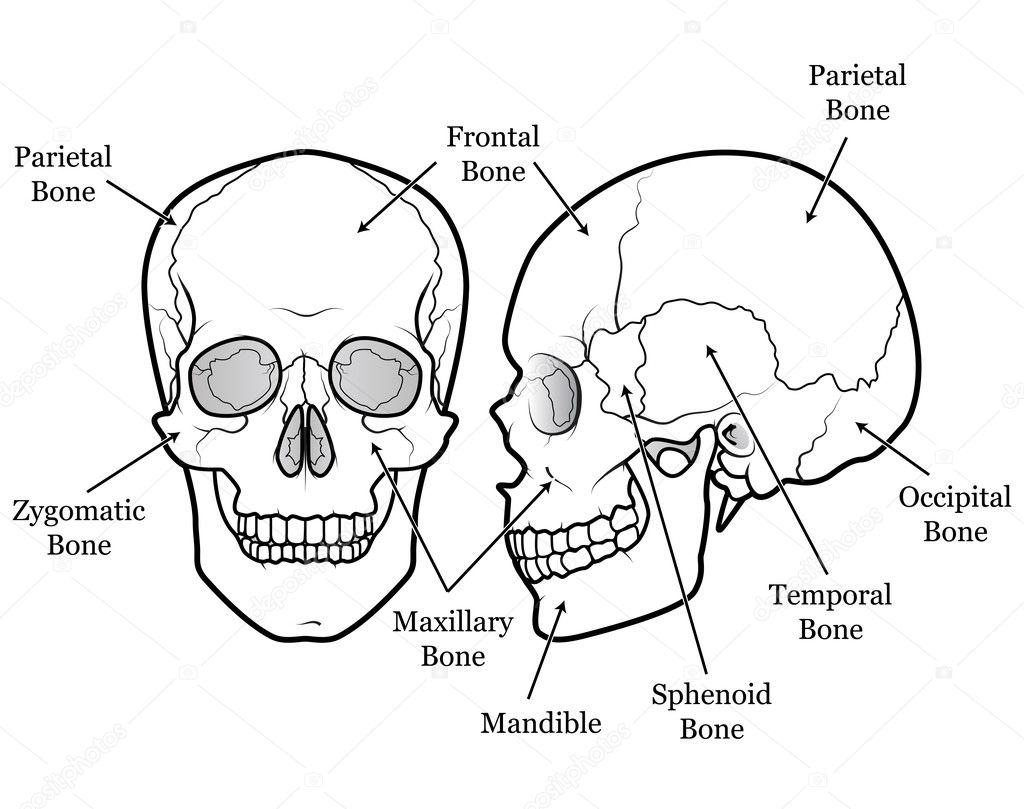 Skull Diagram With Labels