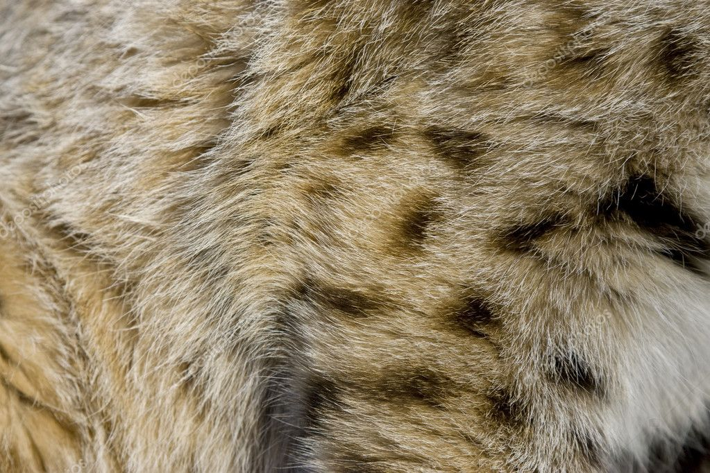 Close up of Bobcat fur