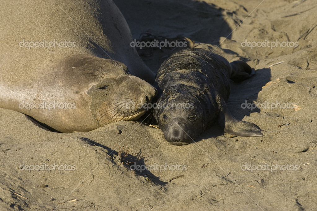 Elephant Seal Mother & Pup on the beach at San Simeon