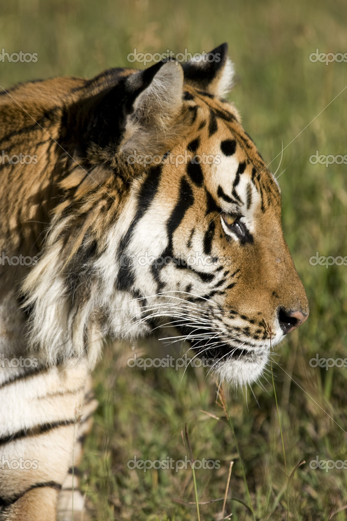 Siberian Tiger side profile