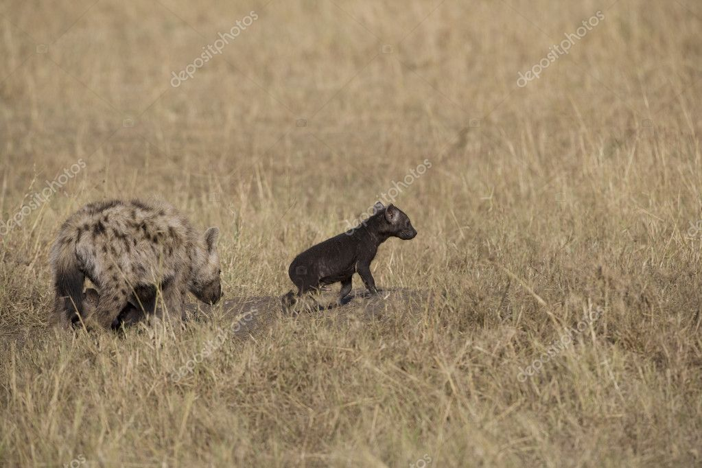 Hyena and cub in the Masai Mara