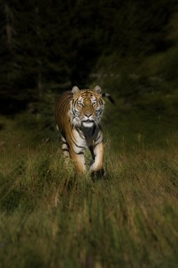 Siberian Tiger bolts out of the woods