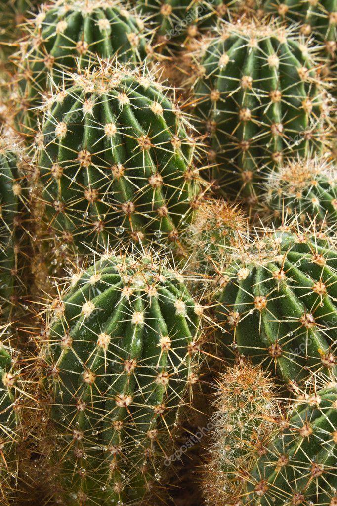 bauernhof produziert eine f lle von kaktus arten. Black Bedroom Furniture Sets. Home Design Ideas