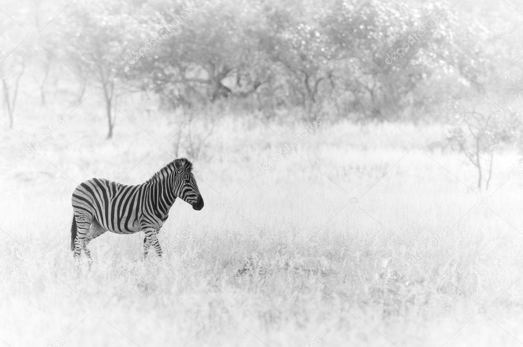 Zebra on savannah
