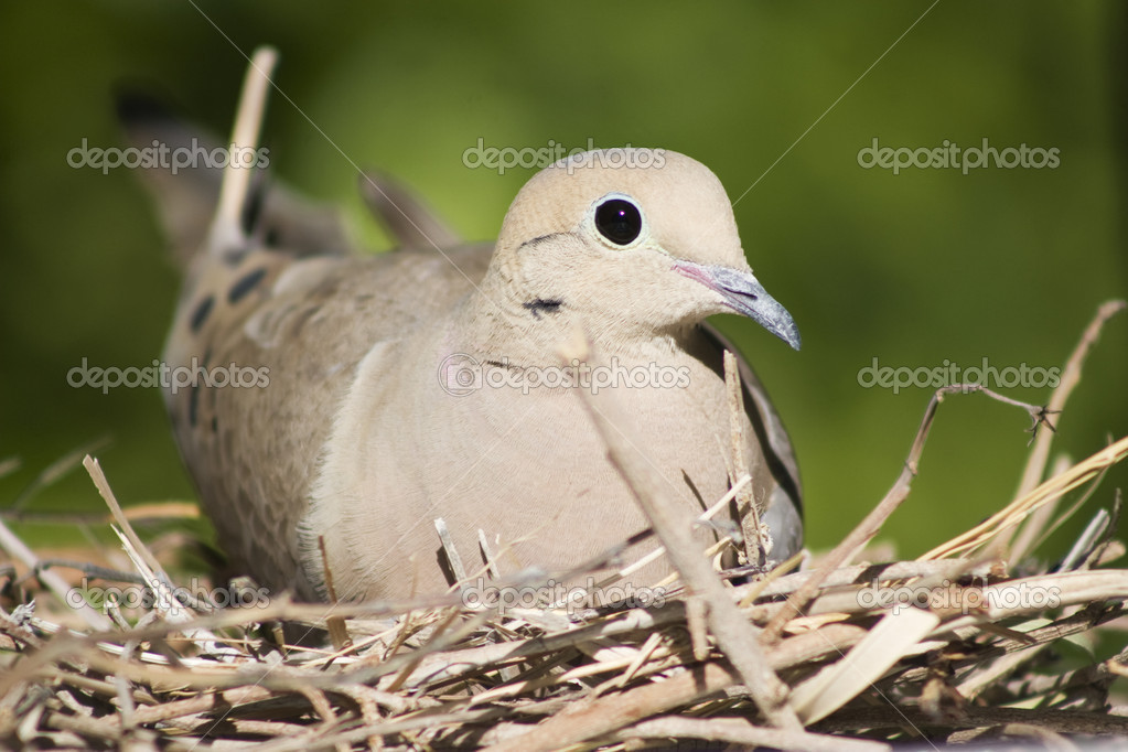 A female mourning dove sits on her nest in Southern California.