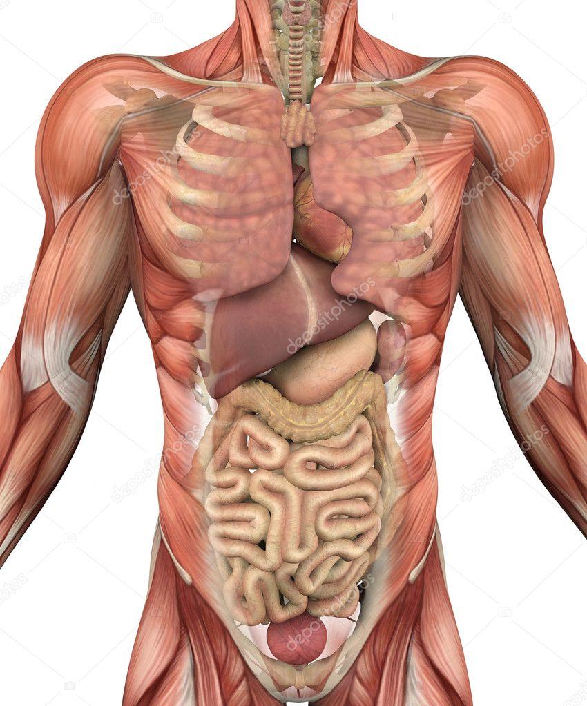 torso masculino con los músculos y órganos — Foto de stock ...
