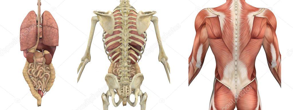 recubrimientos anatómicos del torso - parte trasera — Fotos de Stock ...