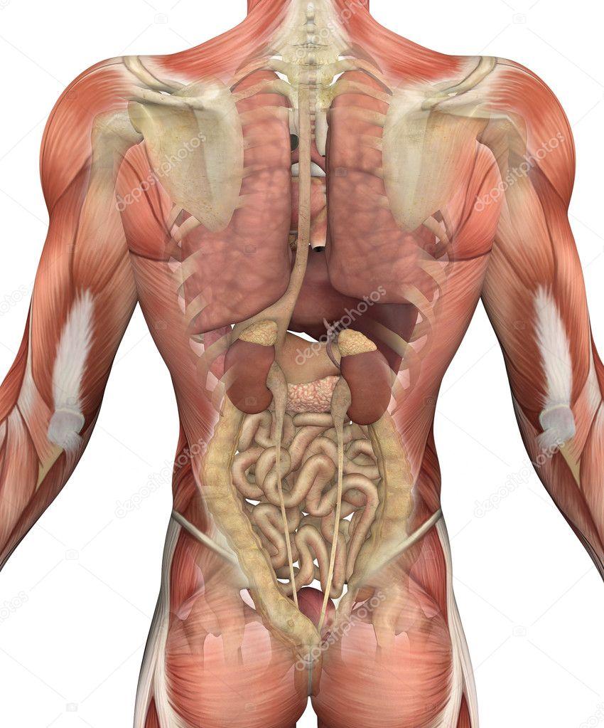 torso masculino con los músculos y órganos - vista trasera — Foto de ...