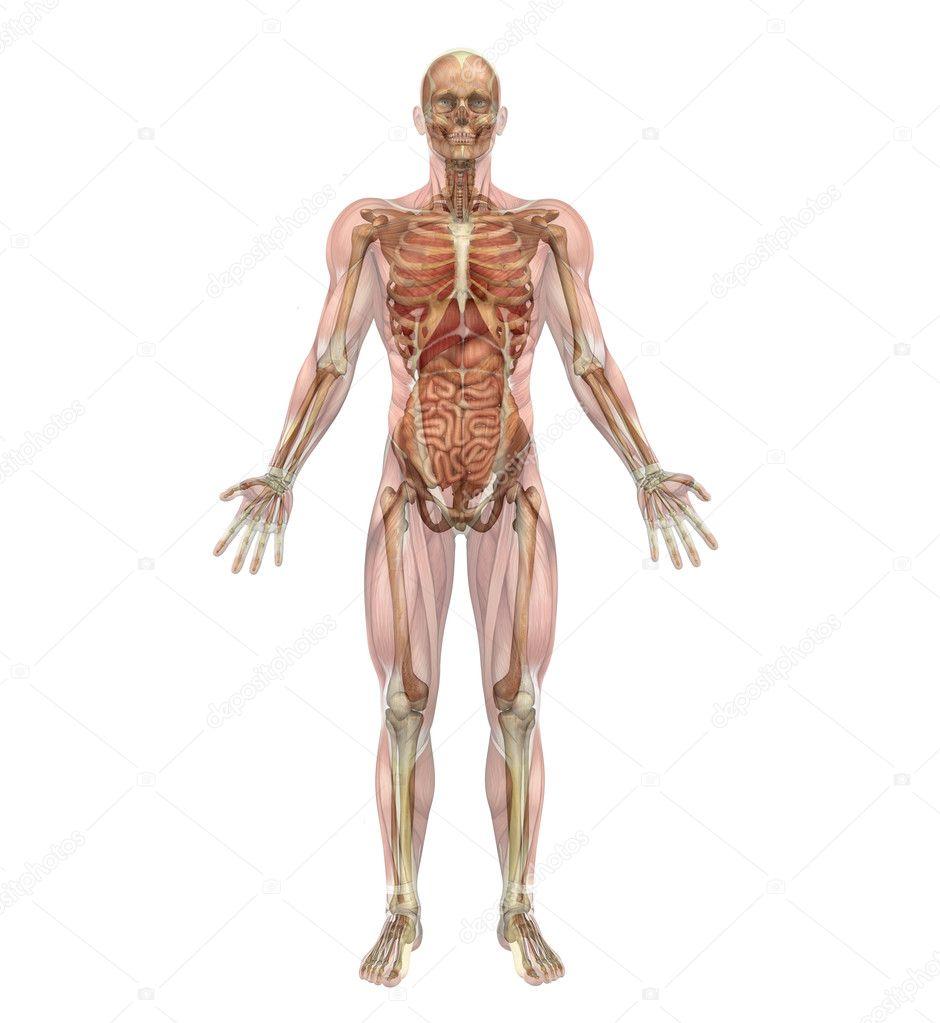 männliche Skelett und innere Organe mit Muskeln — Stockfoto ...
